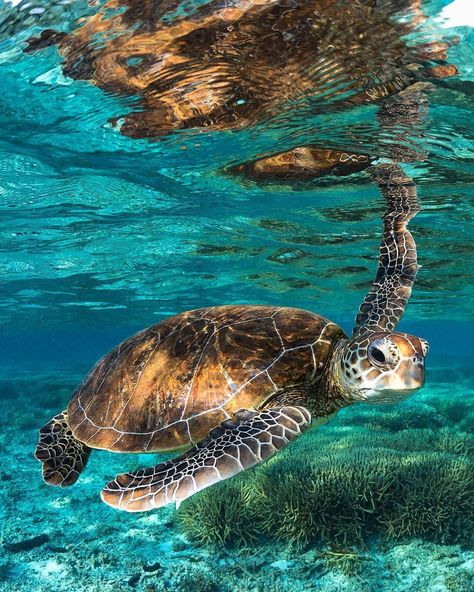 A Guide to the Great Barrier Reef: Is It Worth It? Snorkelling and scuba diving on the Great Barrier Reef was one of the best, and most expensive, experiences of my life. Read here for tips on where to go for the best quality reef, what to do, how much to Save The Sea Turtles, Baby Sea Turtles, Cute Turtles, Sweet Turtles, Beautiful Sea Creatures, Animals Beautiful, Sea Turtle Pictures, Sea Pictures, Sea Turtle Images