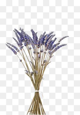 Purple Lavender With Dried Flowers Purple Lavender Dried Flowers Png And Vector With Transparent Background For Free Download Trendy Flowers Flower Backgrounds Dried Flowers