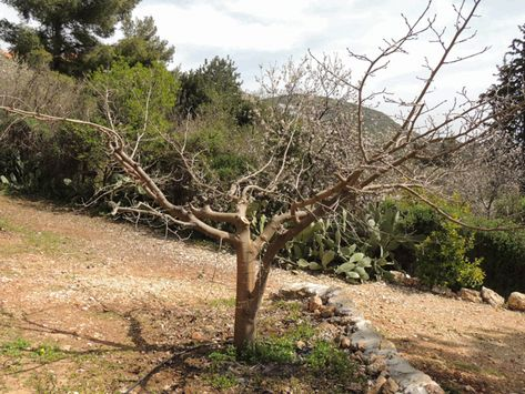 How To Prune Fruit Trees To Keep Them Small Prune Fruit Fruit Trees Tree Pruning