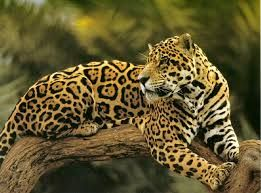 jaguar images - Google Search