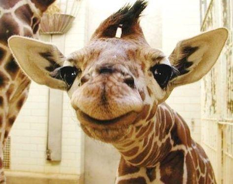 Cute baby giraffe girraffes! Pinterest Baby giraffes - griffe für küche