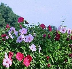 South Korea Hibiscus Syriacus Rose Of Sharon Or In Korea Known