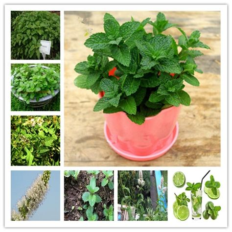 100 pcs spearmint mint edible catnip plant flower vegetable bonsai herb seeds fo