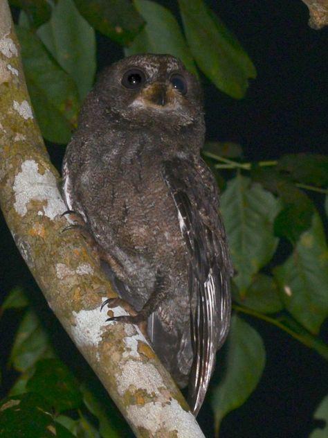 Mohéli Scops Owl (Otus moheliensis). Photo by Alan Van Norman.