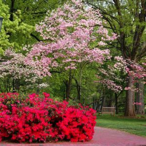 Red Flowering Dogwood Overview With Images Dogwood Trees