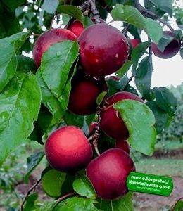 Baldur Garten Cherrykose Kreuzung Aus Kirschpflaume Aprikose 1 Pflanze Gartenjahr2018 Gartenplanung Gartenteich Gartent Kirschpflaume Pflanzen Pflaume