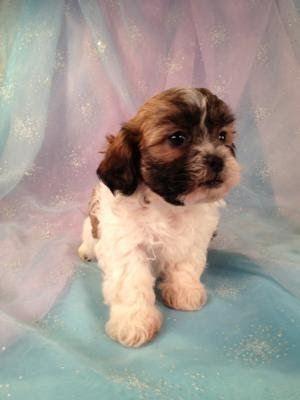 Shih Tzu Bichon Puppies For Sale Shih Tzu Bichon Breeder Shih Tzu
