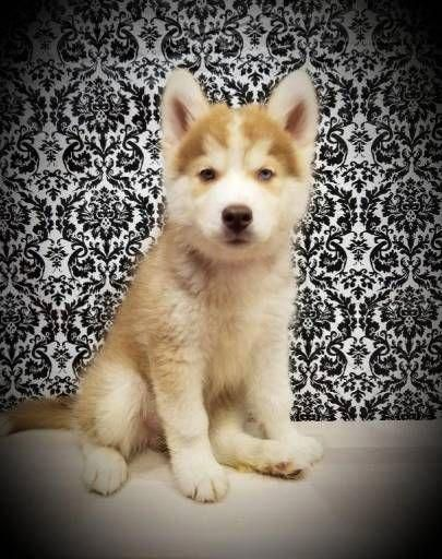 Siberian Husky Dogs For Sale In United States New York New York