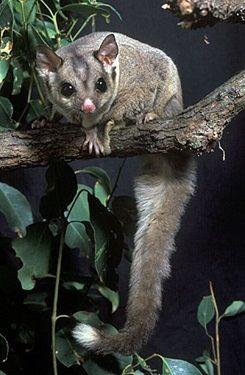 Sugar Glider Queensland Museum In 2020 Australian Native Animals Australia Animals Animals