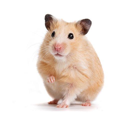 All About Syrian Teddy Bear Hamster Cute Hamsters Bear