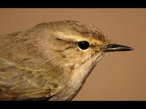 Herken De Siberische Tjiftjaf Phylloscopus Collybita Tristis Youtube Zangvogel Vogels Scandinavisch
