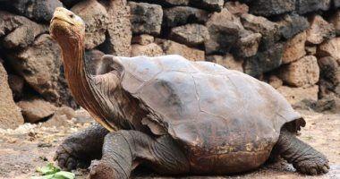 تعرف على قصة دييجو ذكر السلحفاة الذى أنقذ فصيلته من الانقراض Habitats Animals Galapagos