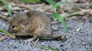 Indian Bushrat Google Search In 2020 Bush Rat Harvest Mouse Rats
