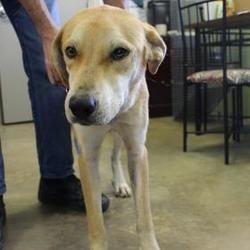 Pin By Sharon Mcmurren On Animals In Need Labrador Retriever Dogs Labrador
