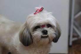 Shih Tzu Funny Shih Tzu Dog Shih Tzu Shih Tzu Puppy
