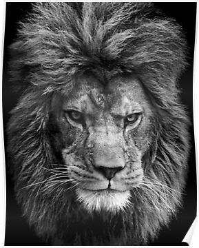 Black and white lion Poster