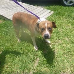 6 16 19 Urgent Naples Fl Catahoula Leopard Dog