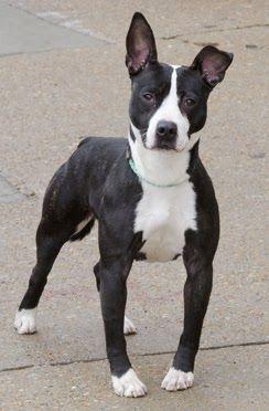 Pitbull Boston Terrier Mix Breed Terrier Mix Breeds Pitbull Terrier Terrier Mix