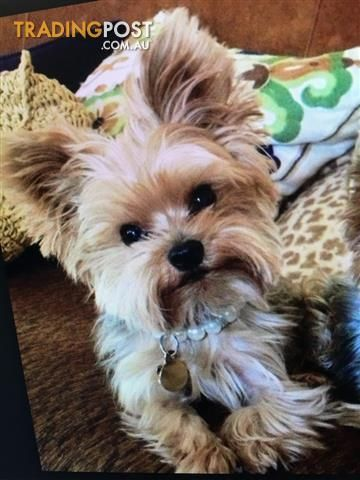Yorkshire Terriers Very Small Teacup For Sale In Rye Vic