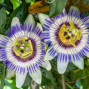 Passiflora Lavender Lady Passion Flower In 2020 Passiflora Caerulea Blue Passion Flower Passiflora