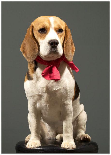 I Love Beagles cute pet Baby Vest