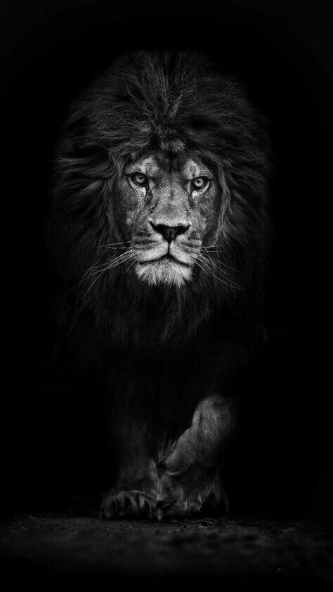 Pin By Shahin On Black White Lion Wallpaper Black And White Lion Lion Photography