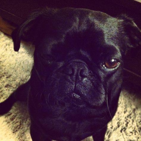 Silly Rocco. #blackpug #pug #browneyes #pugeyes