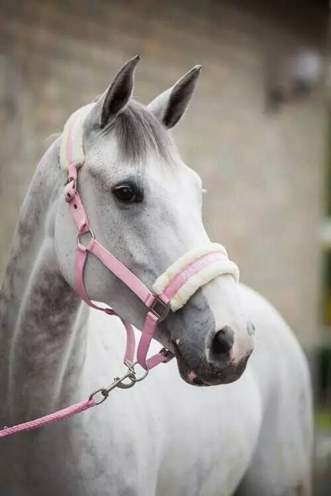 Image in horses💚 collection by إسرآء 'محمود on We Heart It Cute Horses, Pretty Horses, Horse Love, Horse Photos, Horse Pictures, Horse Braiding, Horse Wallpaper, Horse Riding Clothes, Horse Halters