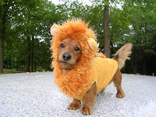 Image result for DACHSHUND dressed as a lion