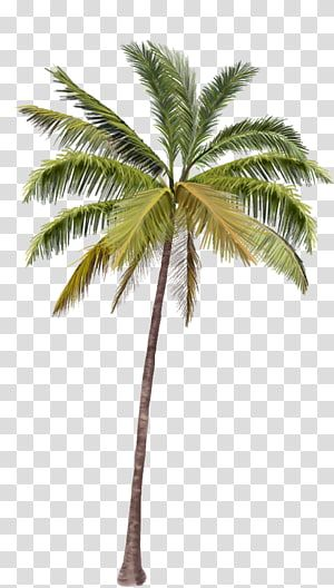 Green Coconut Tree Arecaceae Coconut Coconut Trees Transparent Background Png Clipart Tree Photoshop Palm Tree Images Photoshop Backgrounds Backdrops