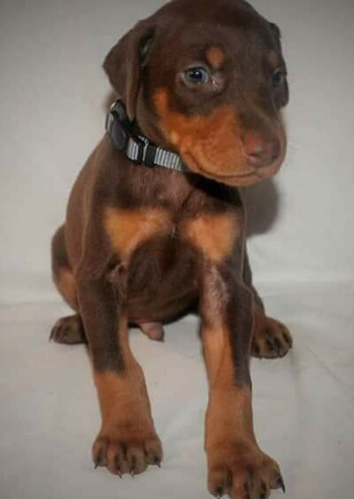 Litter Of 9 Doberman Pinscher Puppies For Sale In Hemet Ca Adn 56995 On Puppyfinder Com Gender Male Doberman Pinscher Puppy Puppies For Sale Happy Animals