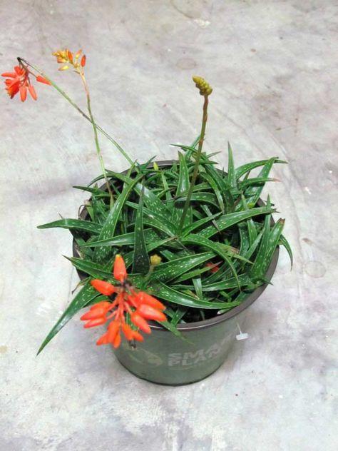 Kalanchoe Fiori Bianchi.Aloe Firebird Firebird Aloe Piante Grasse Piante