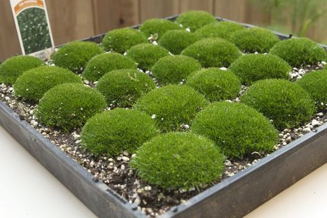 Had No Idea You Could Buy Trays Of Moss At Home Depot My Kitchen