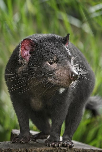 Tasmanian devils may have a fearsome reputation, but they are really just misunderstood. - The Tasmanian devil is a carnivorous marsupial of the family Dasyuridae, now found in the wild only on the Australian island state of Tasmania.