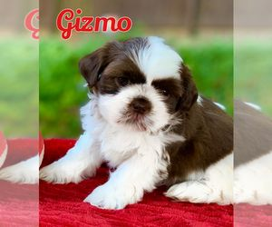 Shih Tzu Puppy For Sale In Buford Ga Usa Home In 2019