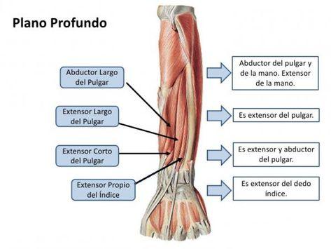 Musculos Del Brazo Anatomia Nombres Y Fotos Con Imagenes