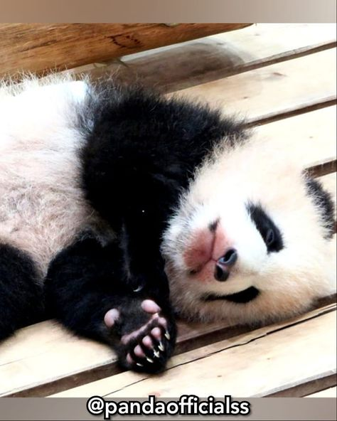Hi... #me #pandaofficialss #me #pandaofficialss #. #. #. #. #. #ME #pandaofficialss #. #. #. #. #. #panda #animal #love #superbowl #spirit #insta #nationalgeographic #panda # #for #likeforlike #animals #junjle #live #italy #world #national #geografic #likeforlike # #for #Brescia #italia #. #. #. #. #. #AND #TAG #YOU #FRIENDS #nails