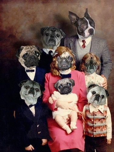 Group Pug Portrait And One Boston Terrier People W Pug Heads