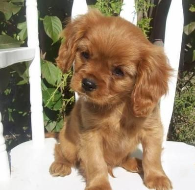 AKC Cavalier King Charles Spaniel Puppies, I would love to have a puppy in this ruby color!