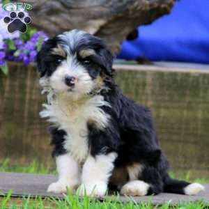 Mini Bernedoodle Puppies For Sale Greenfield Puppies Bernedoodle Bernedoodle Puppy Greenfield Puppies