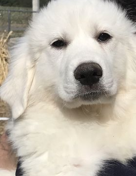 Great Pyrenees Puppy For Sale In Homestead Fl Adn 65485 On