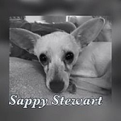 Reno Nevada Chihuahua Meet Sappy Stewart A For Adoption