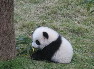 Image Result For Giant Panda Eating Bamboo With Images Panda Bear Baby Panda Baby Panda Bears