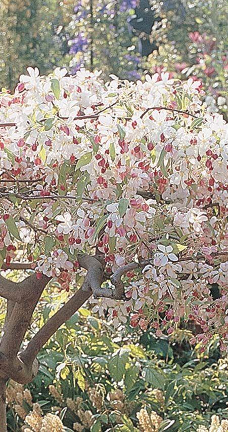 Sun Rival Crabapple Tree 9l Pot Malus Sun Rival 47 99 Crabapple Tree Crab Apple Plant Roots