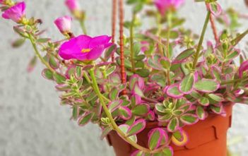Pin By Dorisa Tee On Agriculture Succulents In 2021 Blooming Succulents Flowering Succulents Portulaca Flowers