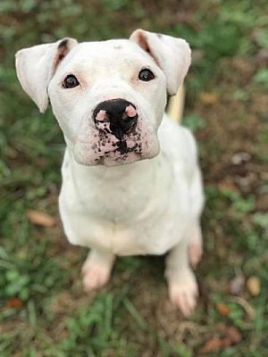Dallas Ga Pit Bull Terrier Meet Scully A Pet For Adoption