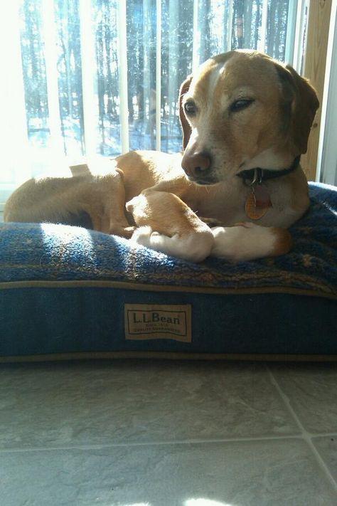 Emmet loves lounging in his #LLBean dog bed. Via Twitter @ jamesQ3535 #LLBeanPets