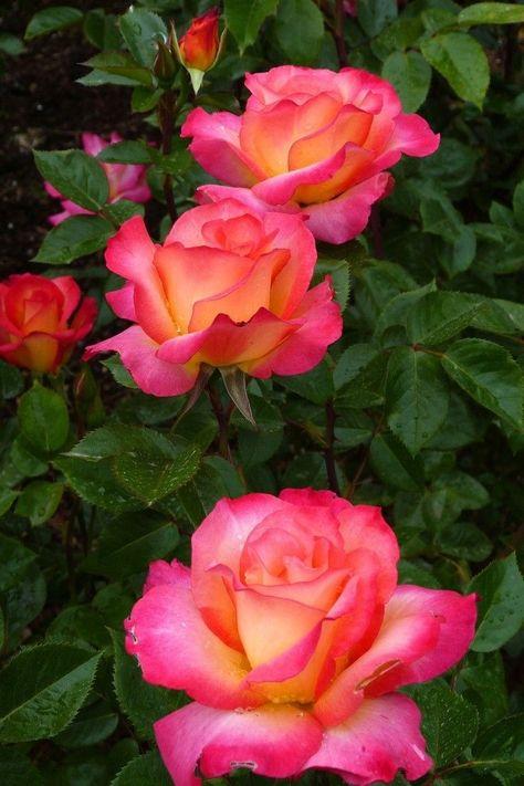 pin von petra faesecke auf rosen  blumenbilder