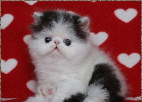 Look At That Cute Face Cute Cats And Dogs Persian Kittens