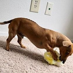 Available Pets At Dachshund Lovers Of Texas In Dallas Texas